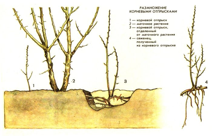 Размножение малины корневой порослью