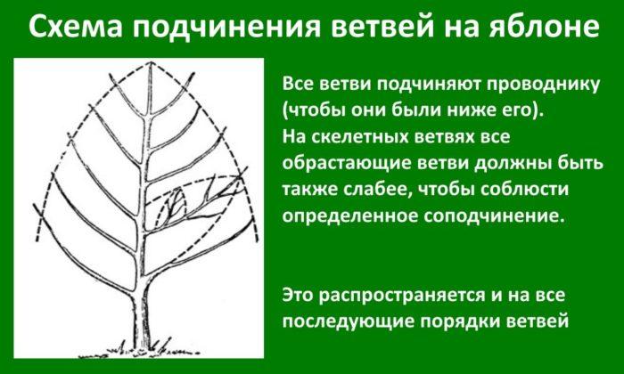 Схема соподчинения ветвей на яблоне