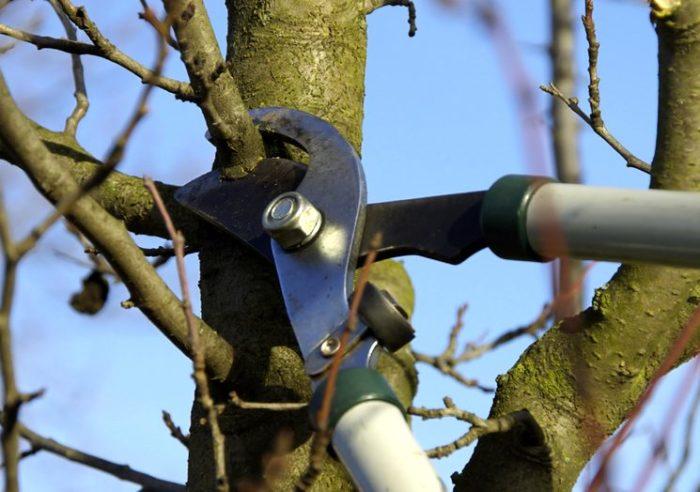 Обрезка веток яблони, растущих под острым углом к центру