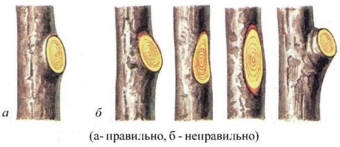 Обрезка ветки на кольцо