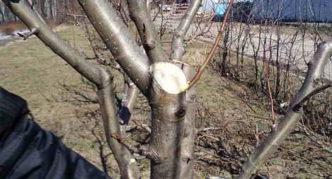 Регулирующая обрезка яблони