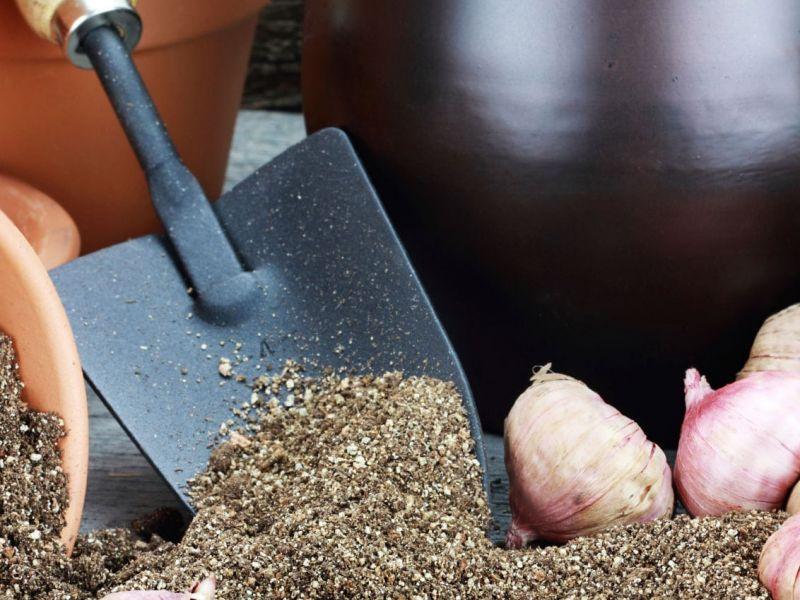 Когда выкапывать гладиолусы осенью и как правильно хранить до весны