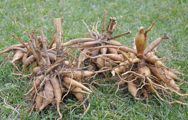 сухой корень георгин