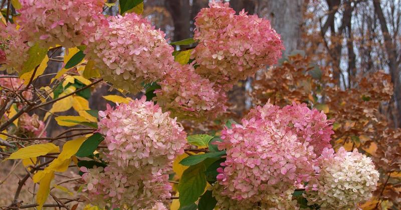 Уход за гортензией осенью в саду
