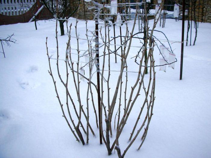 Смородина зимой