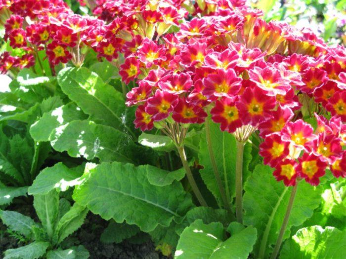 Многоцветковая примула