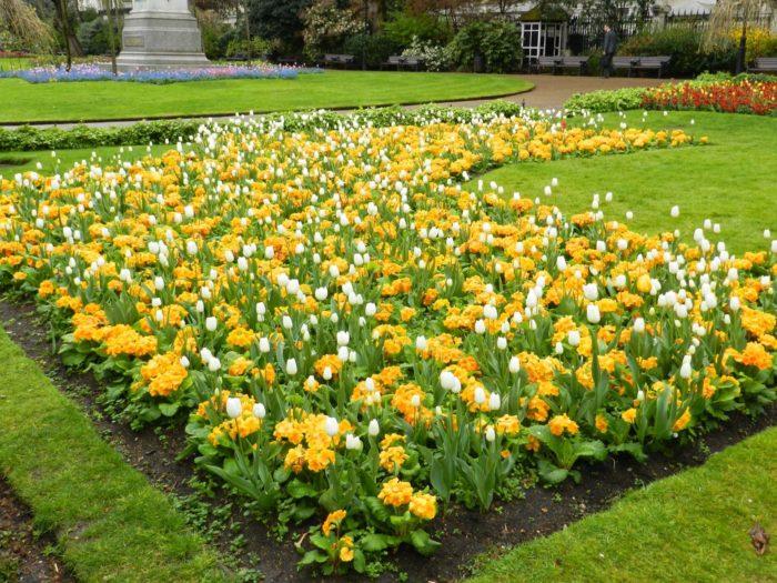 Клумба с желтой примулой и белыми тюльпанами