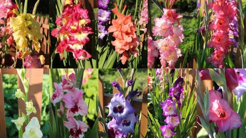 Лучшие сорта гладиолусов для вашего сада с фото и описанием цветов