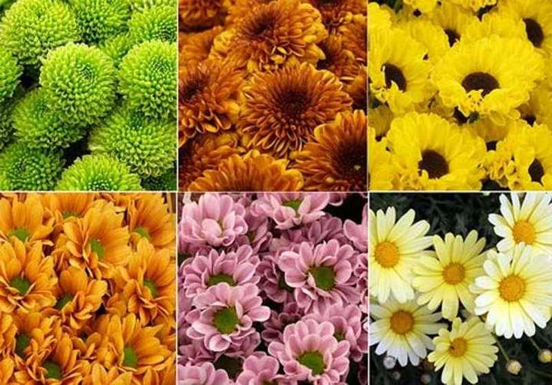 Лучшие сорта хризантем с фото: посадите их на своей даче и наслаждайтесь цветником до самых холодов!
