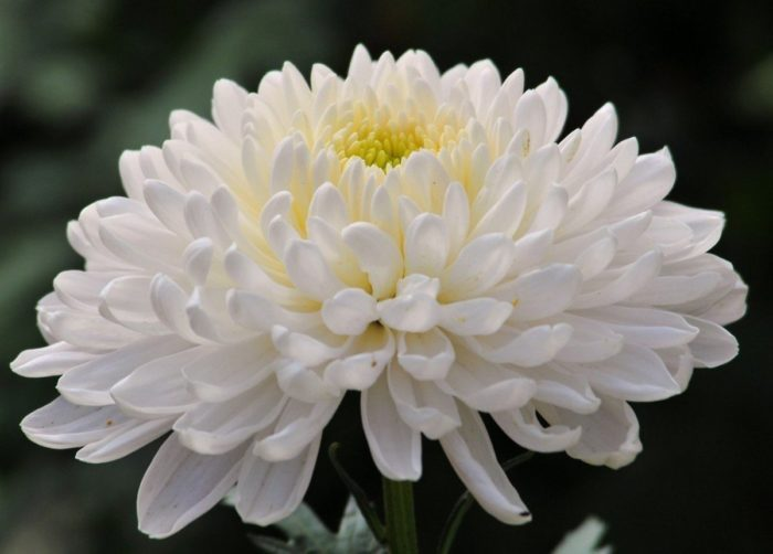 Хризантема сорта Анита