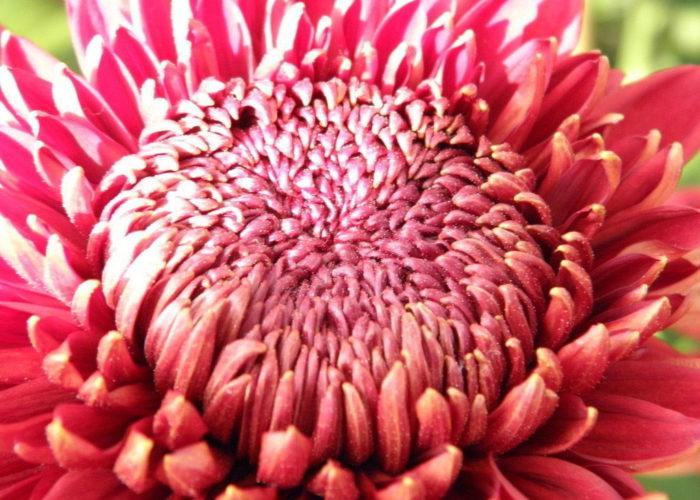 Хризантема сорта Рубин