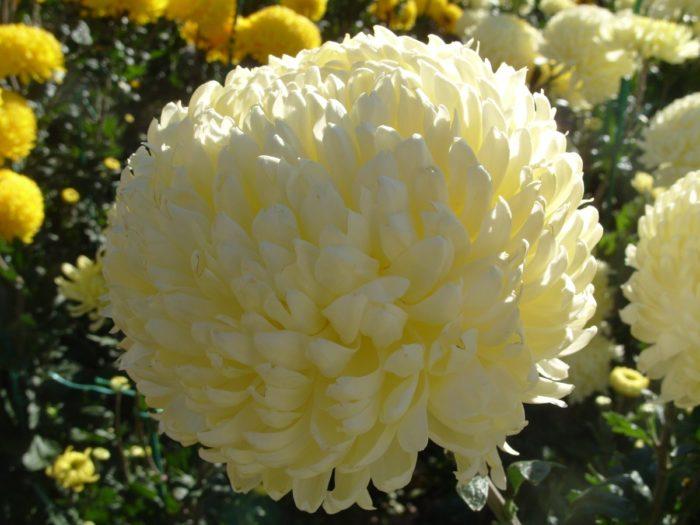 Хризантема сорта Кремист