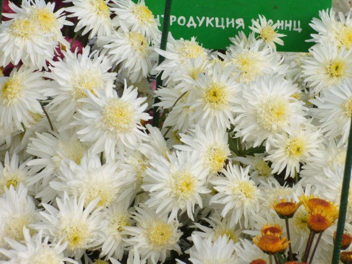 Хризантема сорта Иней