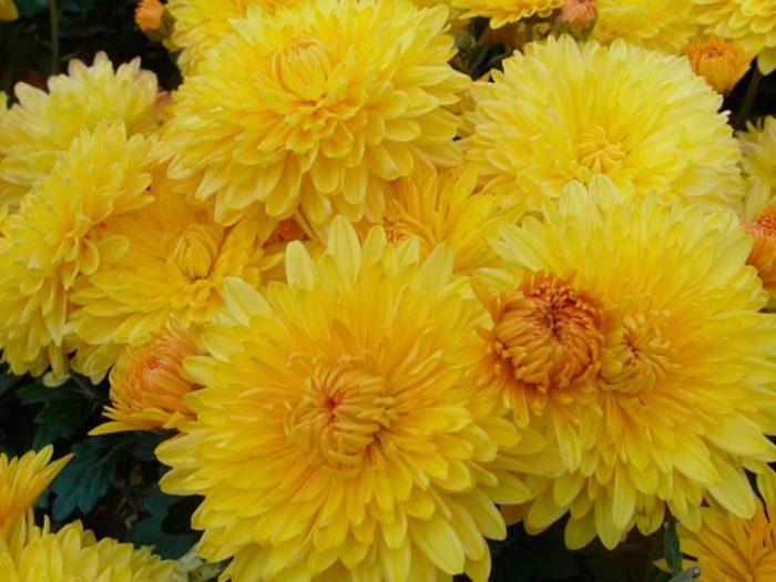 Хризантема сорта Опал