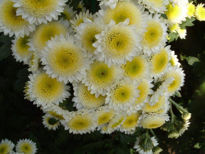 Хризантема сорта Пума белая