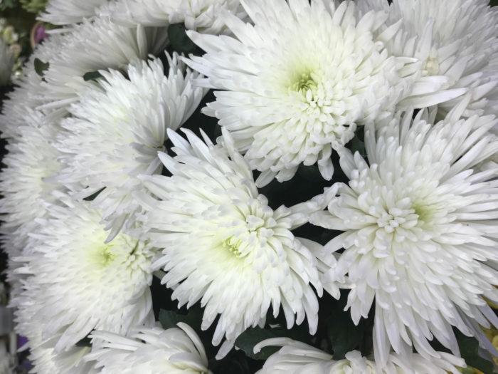 Хризантема сорта Анастасия