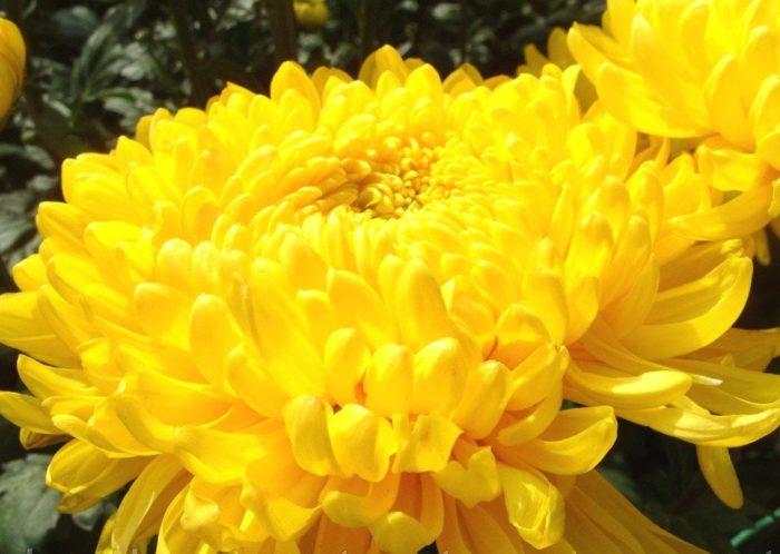 Хризантема сорта Апельсин