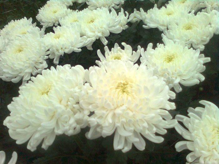 Хризантема сорта Регина
