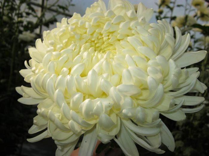 Хризантема сорта Сноудон