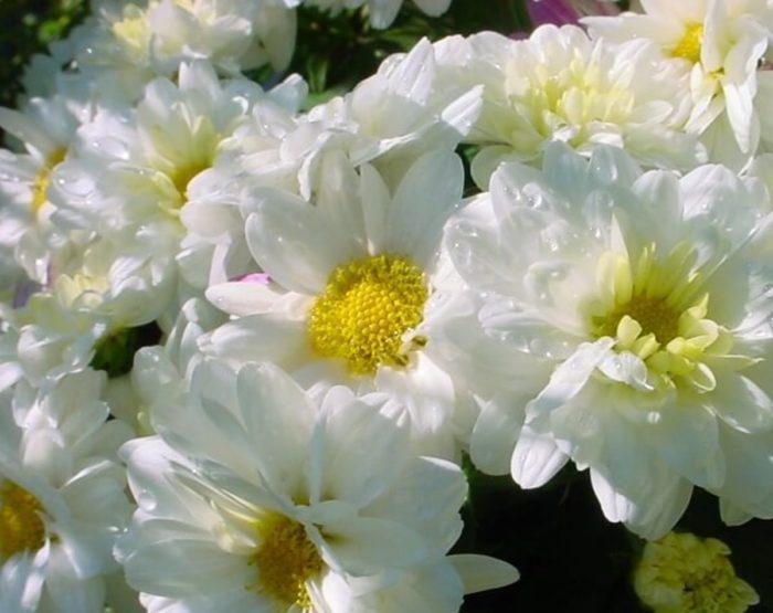 Хризантема сорта Газель