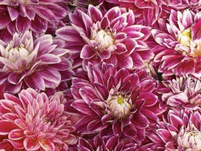 Хризантема сорта Кнопа