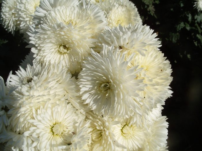 Хризантема сорта Царевна Лебедь