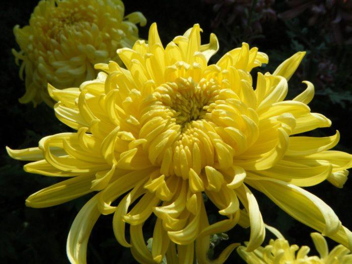 Хризантема сорта Эльф