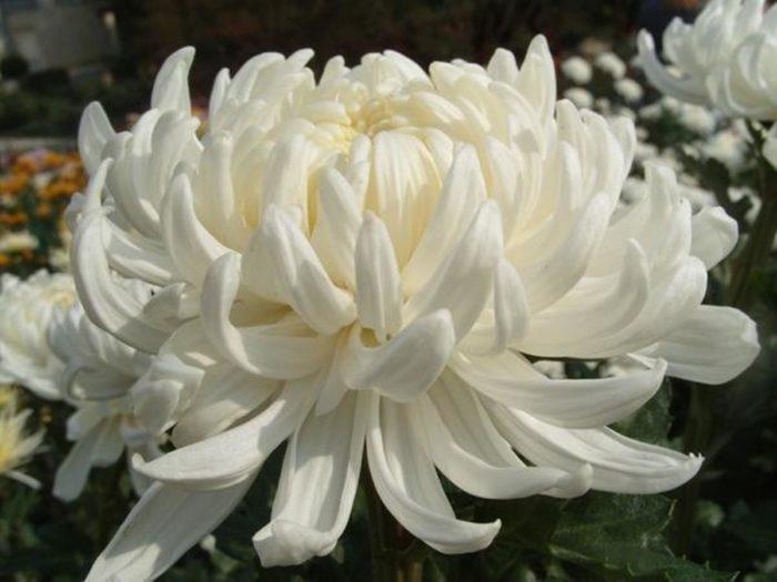 Хризантема сорта Рибонет