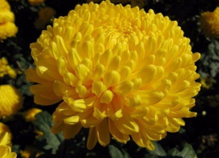 Хризантема сорта Риварди