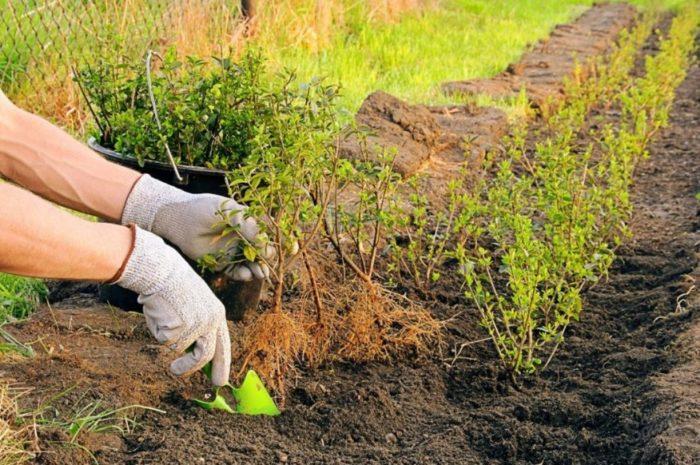Посадка изгороди из барбариса