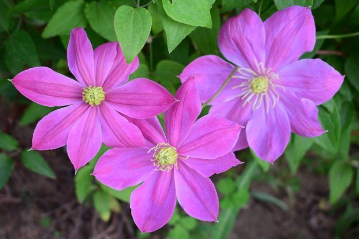 Клематис Никитский розовый
