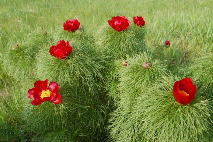 Виды и сорта цветов пионов с фото, названиями и описанием, какие бывают разновидности пионов