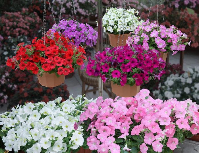 41 лучший сорт петунии: цветущий сад с весны и до заморозков (фото)