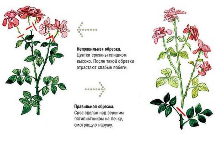 Правильная и неправильная обрезка роз