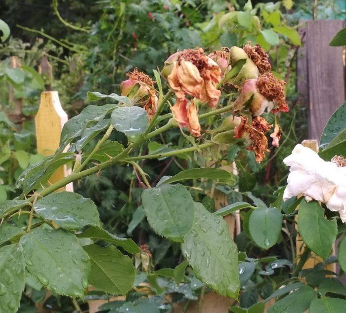 Плоды розы