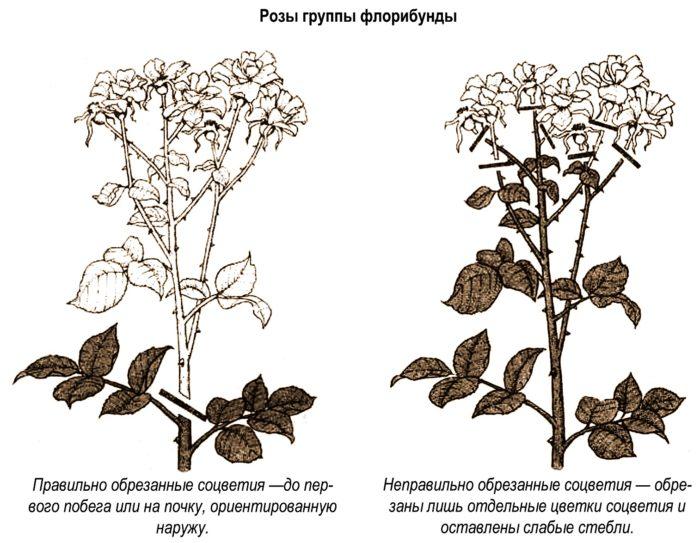 Обрезание роз группы флорибунды
