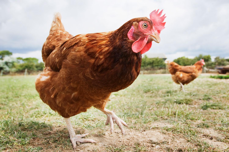 Куриный помет как удобрение: особенности и отзывы