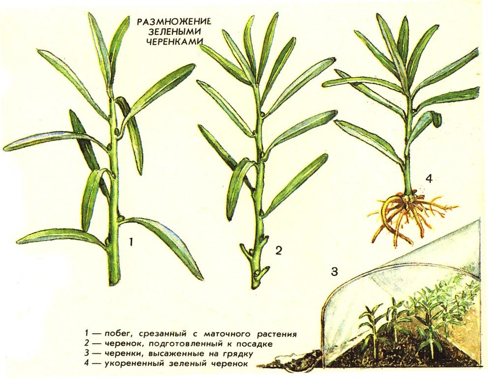 Размножение растение черенками
