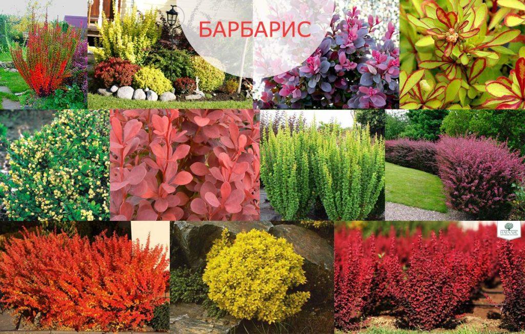 Кустарники барбарис: посадка и уход за кустарниками, барбарис в ландшафтном дизайне, описание основных видов