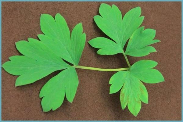 Табачная мозаика на листьях дицентры