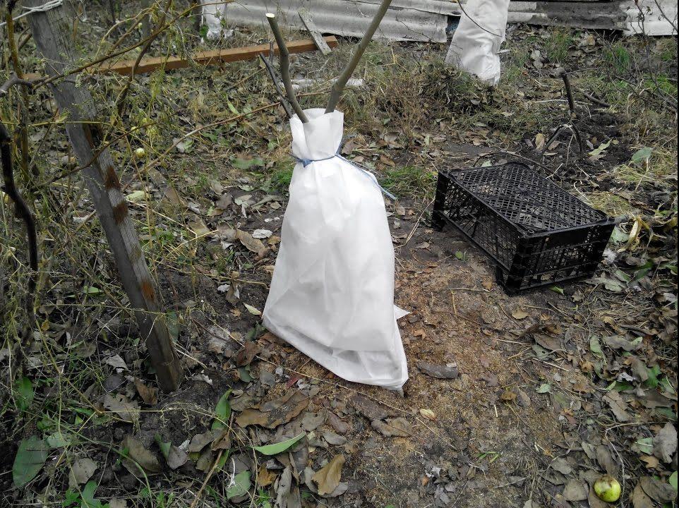 Укрывание барбариса на зимовку