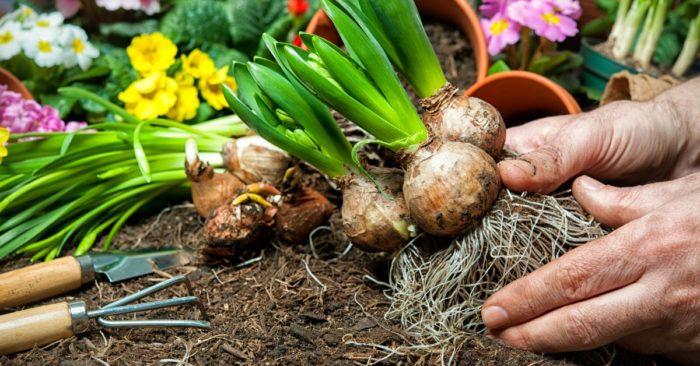 выкапывать луковицы гладиулоса