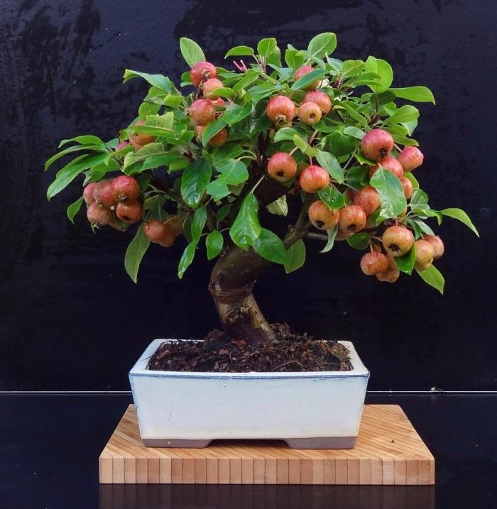 Небольшая яблоня для бонсай в саду