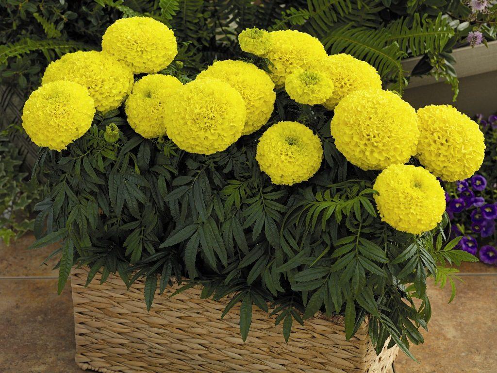Жёлтые бархатцы