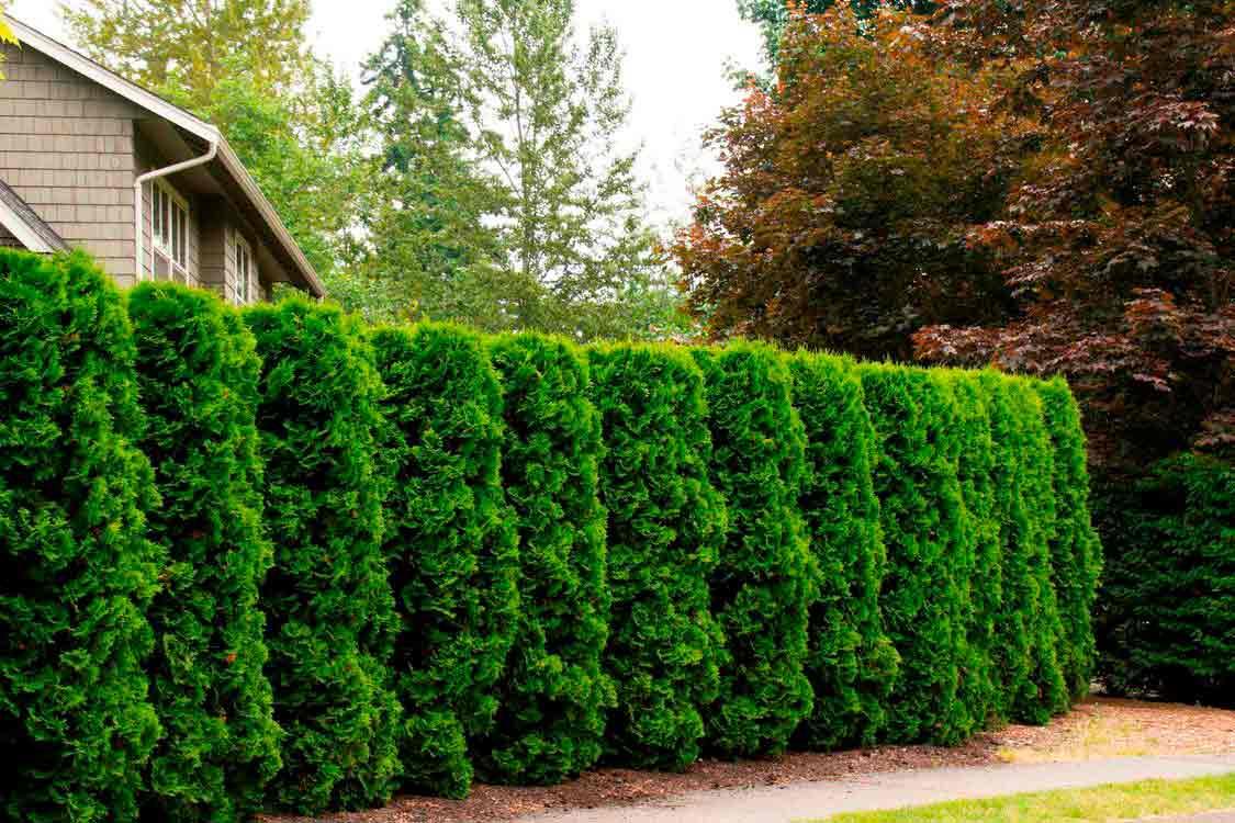 Многолетняя быстрорастущая вечнозелёная живая изгородь
