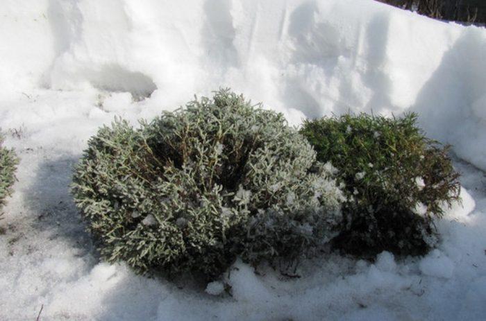 Зимовка кустарника сантолины
